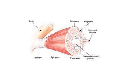 Raumenų funkcinė struktūra